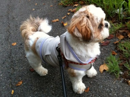 茂原公園に行った、シーズー犬ぽんず