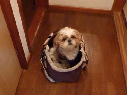 シーズー犬「ぽんず」、薬をもらいにいく。