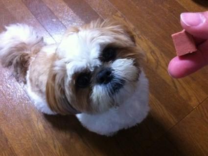 シーズー犬にフィラリア予防薬を与える