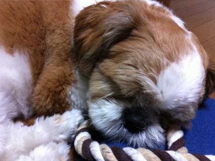 シーズー犬の寝顔918
