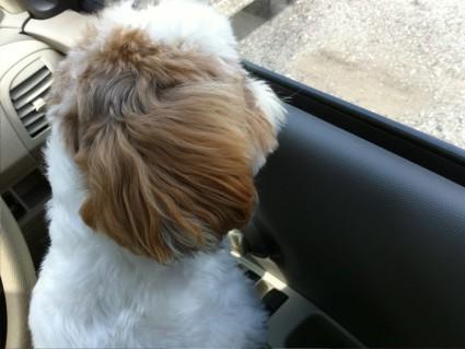 車内で待つ、シーズー犬ぽんず