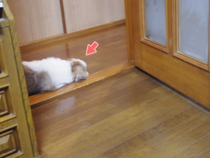 変な場所で寝るシーズー犬ぽんず