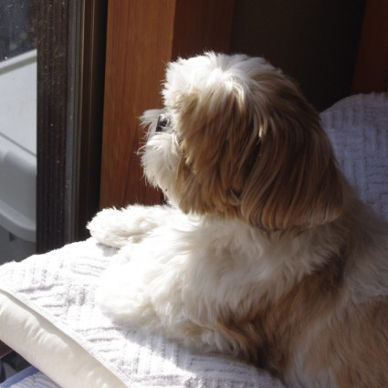 窓の外を見るシーズー犬ぽんず
