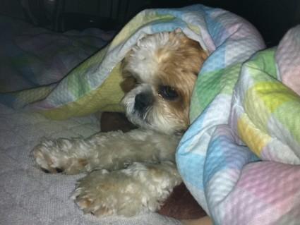朝のまどろみ、シーズー犬ぽんず
