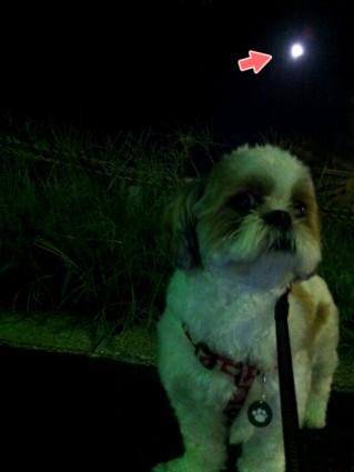 シーズー犬ぽんずと、満月を見る