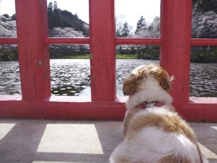 茂原公園のさくら祭りに来たシーズー犬ぽんず