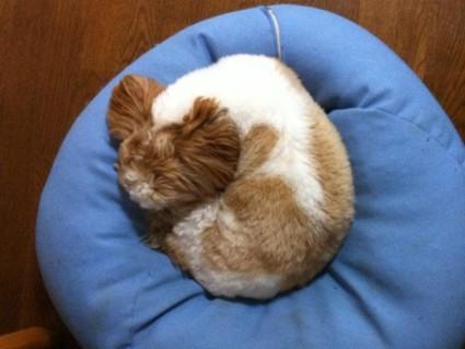 丸くなっている猫みたいなシーズー犬ぽんず