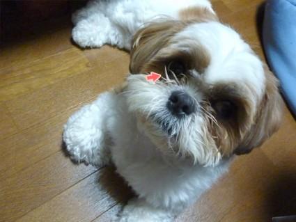 シーズー犬、目頭カット