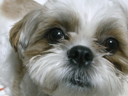 右目だけ涙目のシーズー犬