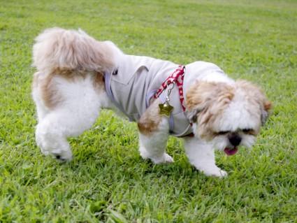 茂原公園でシーズー犬「ぽんず」と遊ぶ