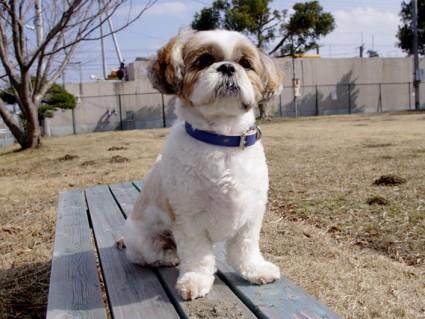 シーズーのモデル犬「ぽんず」