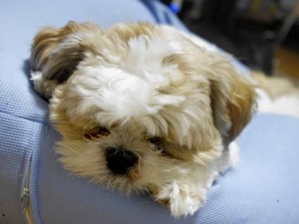シーズー犬、トリミングから1ヶ月