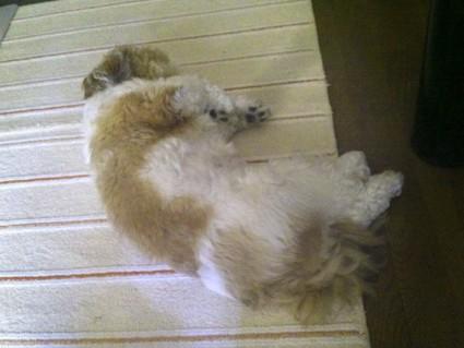 シーズー犬ぽんずの「もふ寝」