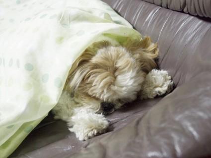 もふ寝するシーズー犬「ぽんず」