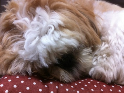 もふ寝するシーズー犬ぽんず