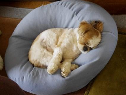 シーズー犬、ぽんずの寝顔