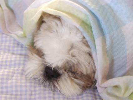 シーズー犬ぽんずの、もふ寝