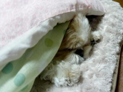 寝起きのシーズー犬「ぽんず」