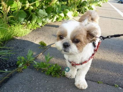 シーズー犬の散歩