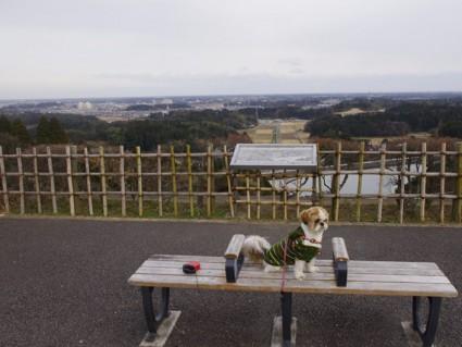 昭和の森の高台へ行く、シーズー犬ぽんず