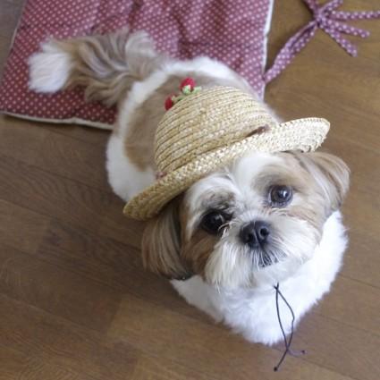 麦わら帽子を被ったシーズー犬ぽんず