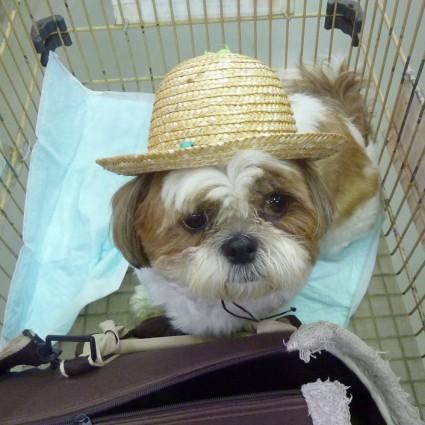 麦わら帽子犬