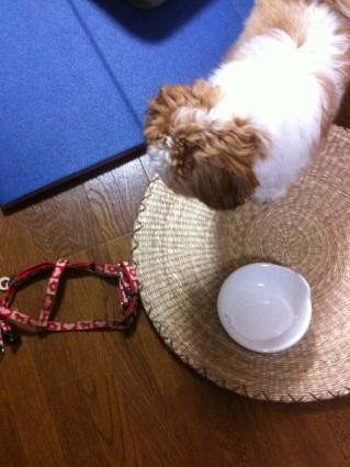 シーズー犬の実験