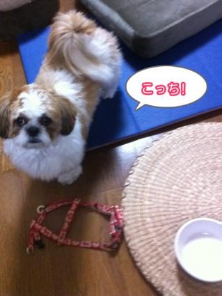 シーズー犬の実験2