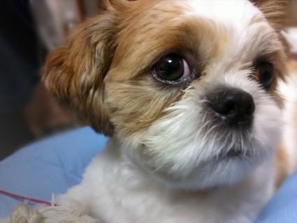 涙目のシーズー犬