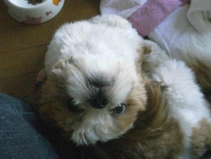軟体犬シーズー