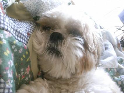 朝の、まどろみをするシーズー犬ぽんず