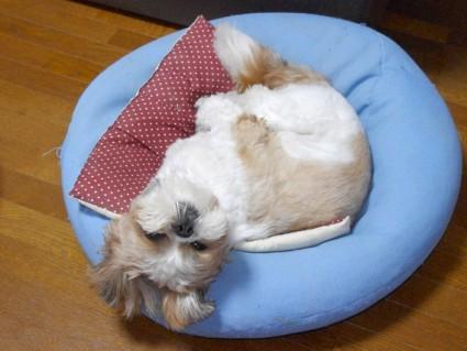 シーズー犬「ぽんず」、首寝違えるよ?