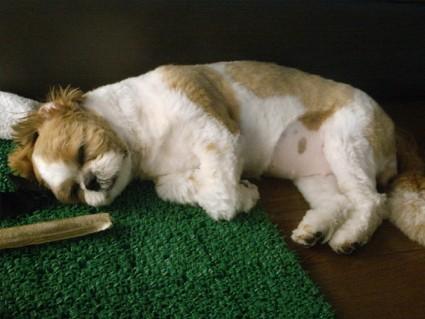 シーズーのかわいい寝顔