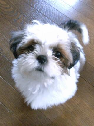 幼犬のシーズー犬、ぽんず