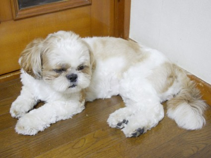 シーズー犬の寝起き