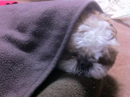 シーズー犬の寝顔、ぽんず