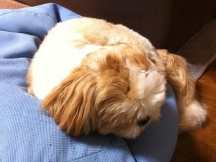 寝てよう日なしーズー犬、ぽんず