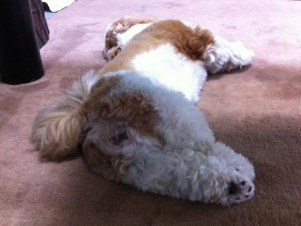 こてん、と寝るシーズー犬、ぽんず