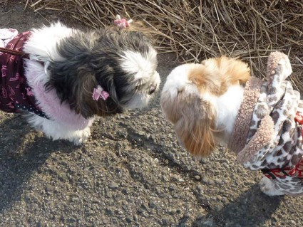 シーズー犬「ぽんず」、新コスチュームで散歩!