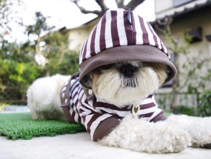 シーズー犬にストライプパーカーを着せた