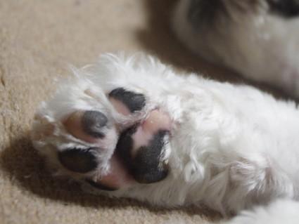 シーズー犬の、肉球観察