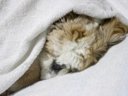「の」になって寝ているシーズー犬ぽんず