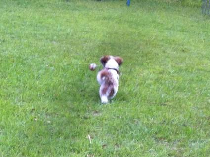 公園でシーズー犬と遊ぶ
