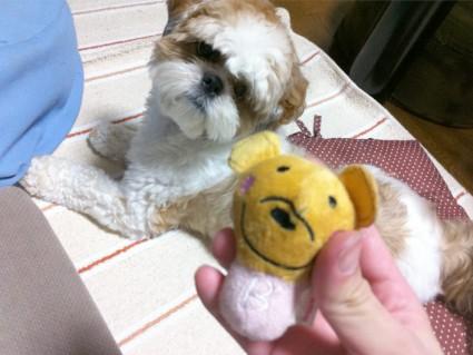 シーズー犬と、ぬいぐるみ