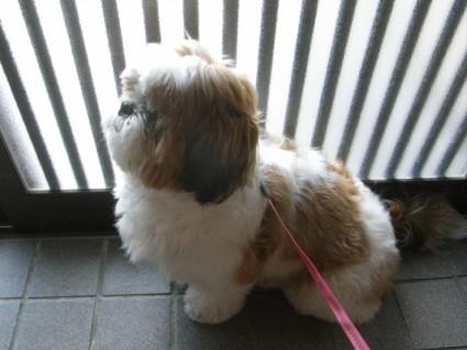 散歩するシーズー犬