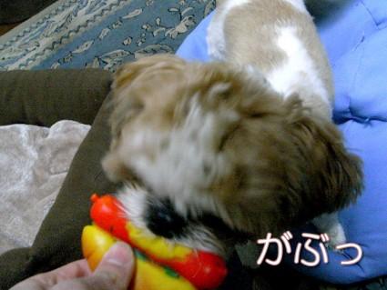 おもちゃで遊ぶシーズー犬の「ぽんず」