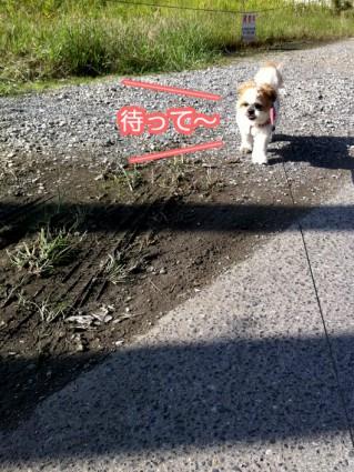 お散歩シーズー犬1