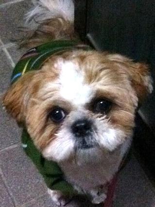 散歩前のシーズー犬、ぽんず2