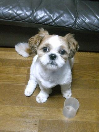 おやつを欲しがるシーズー犬のぽんず