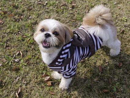 シーズー犬と公園で遊ぶ